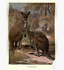 Vintage Kangaroo Painting (1909)  Poster