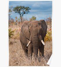 Elephant, Kruger National Park, South Africa Poster