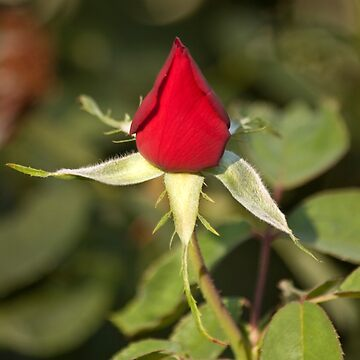 Single Bright Red Rose Bud by Buckwhite