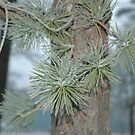Frosty Pine Branch - 2  by Paul Gitto