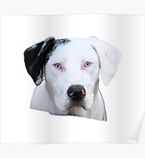 Catahoula Cur With Bright Blue Eyes Poster