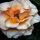 White Rose Leith Park Victoria 20171019 1600  by Fred Mitchell