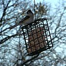 Tufted Titmouse by Glenna Walker