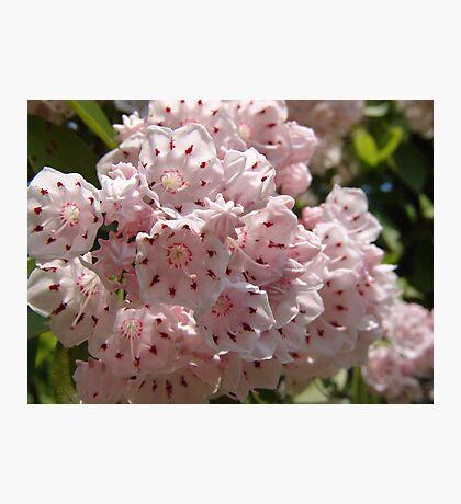 Mountain Laurel  (Kalmia latifolia) Photographic Print