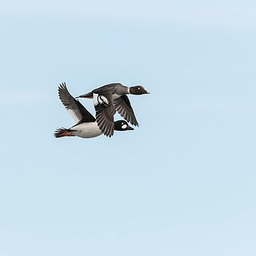 A Pair Of Goldeneye Ducks In Flight by Thomasyoung
