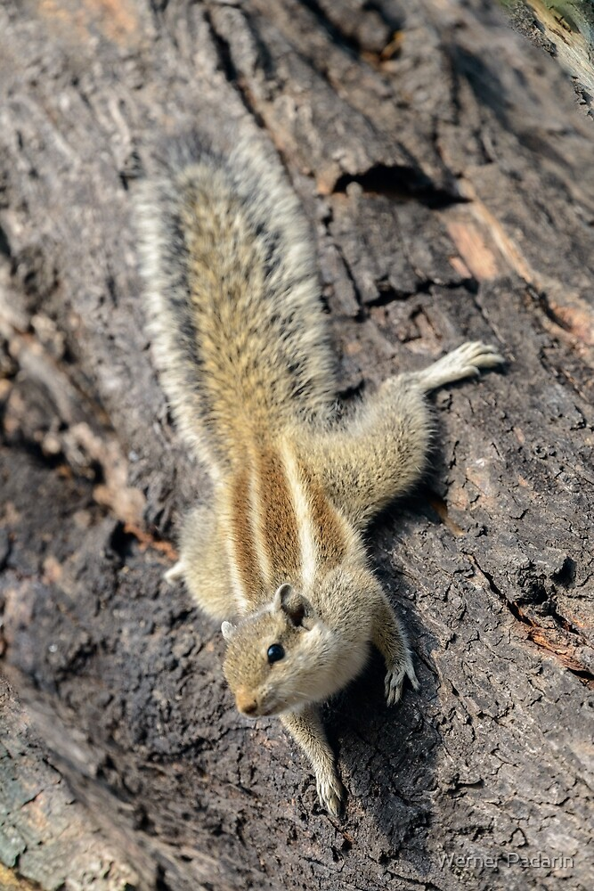 Indian palm squirrel 01 by Werner Padarin