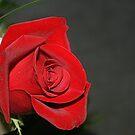 petals of velvet by memaggie