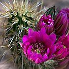 Pink Hedgehog Cactus  by Saija  Lehtonen