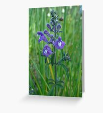 Florida Skullcap (Scutellaria floridana) Greeting Card