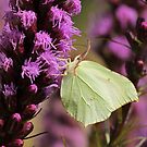 Butterfly on purple flower by Maria Meester