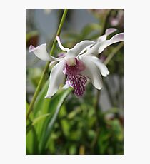 White Orchid with Purple Tips Photographic Print
