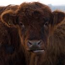 Damn Cheeky Bull! by Susan A Wilson
