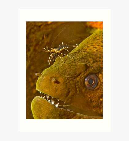 Cleaner Shrimp on Moray Art Print