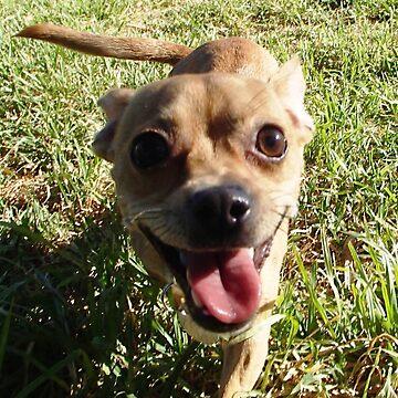 Chihuahua x - Adopted by BlokeyAarsevark