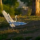 Great White Egret 2 by Marvin Collins