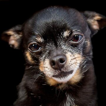 Chihuahua- © Photography by TheClayman.com / Paul Moldovanos  by theclayman