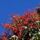 Illawarra Flame Tree, Williams Sq. Warragul  by Bev Pascoe