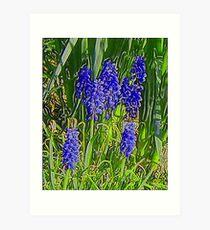 Grape Hyacinths Art Print