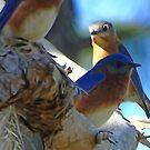 Bluebirds sitting in tree by glink