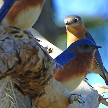 Bluebirds sitting in tree by glink