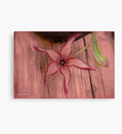 DIFFERENT FACES OF THE STAPELIA GIGANTEA - Giant carrion flower - REUSE AASBLOM Canvas Print