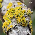 Yellow Tree Lichen by Matt Fricker