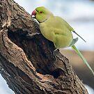 Rose-ringed Parakeet 03 by Werner Padarin