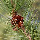 Branch and Cone of a Lodgepole Pine Tree by Jared Manninen
