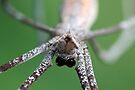 Net-casting Spider - Deinopis ravidus  by Normf