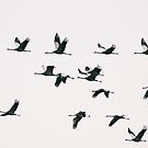 Migration - Fifteen Common Cranes Flying South by visualspectrum