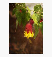 Chinese Lantern (abutilon hybridum) #3 Photographic Print