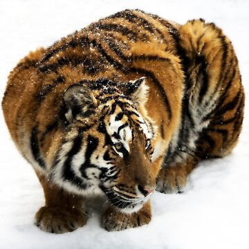 Crouching Tiger by bobbymcleod