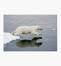 Polar Bear diving (without the bloody nose) Photographic Print