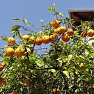 Oranges From The Soller Valley by Fara
