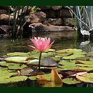 Pink Water Lily by JBonnetteArt