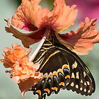 Swallowtail Butterfly On Hibiscus by Zina Stromberg