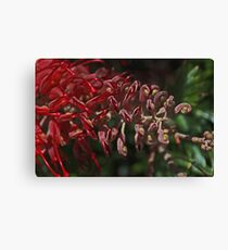 Really Red Great Grevillea Canvas Print