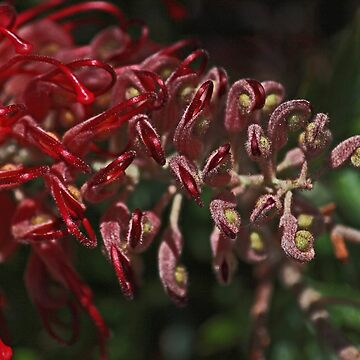 Really Red Great Grevillea by KazM