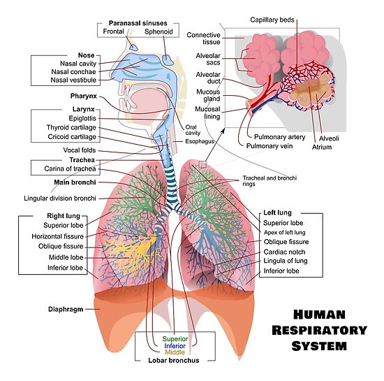 Human Respiratory System Diagram Posters By Allhistory Redbubble
