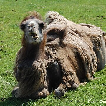Camel by donnachapman