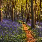 Bluebell woods by Angi Wallace