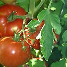 Red tomatoes ripening on the vine. by graphicdoodles