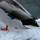 Ducks bottom! by lizh467