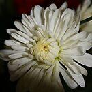 a chrysanthemum by memaggie