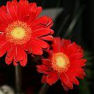2 gerbera flowers by memaggie