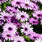 Purple daisies by Liza Kirwan