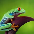 Red eyed tree frog profile by Angi Wallace