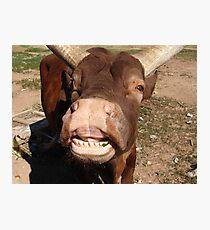 Smiling Bull Photographic Print