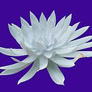 White Succulent by SiobhanFraser