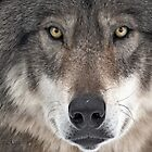 ...le chant du Loup.... (crying wolf)  by John44
